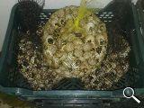 Se vende caracoles medianos de la sierra - foto